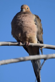 Mourning Dove 2