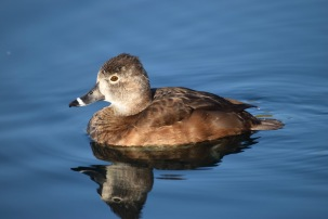 Ring-necked Duck RP 3