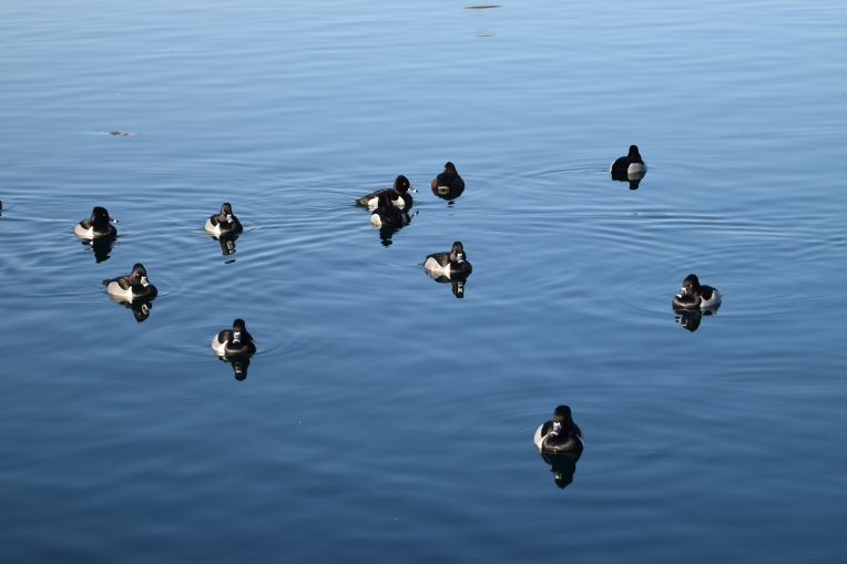 Ring-necked Ducks RP