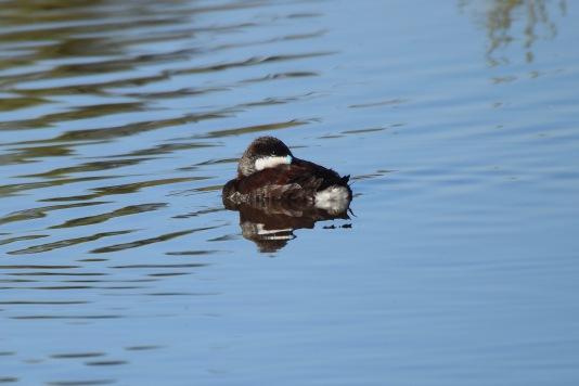 Riuddy Duck RP 2
