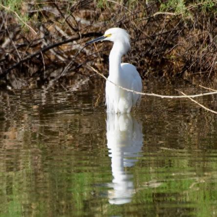 Snowy Egret RP 1