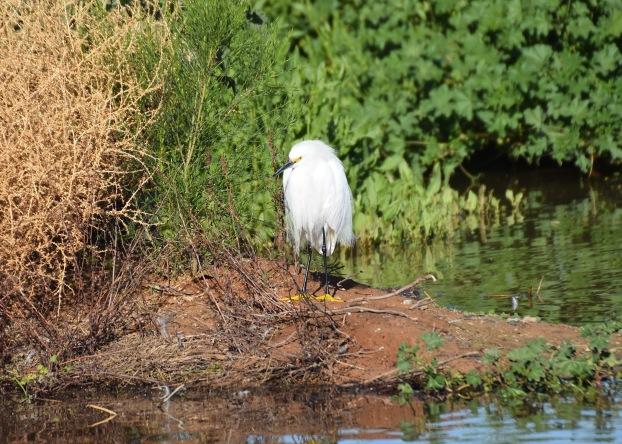 Snowy Egret RP 2