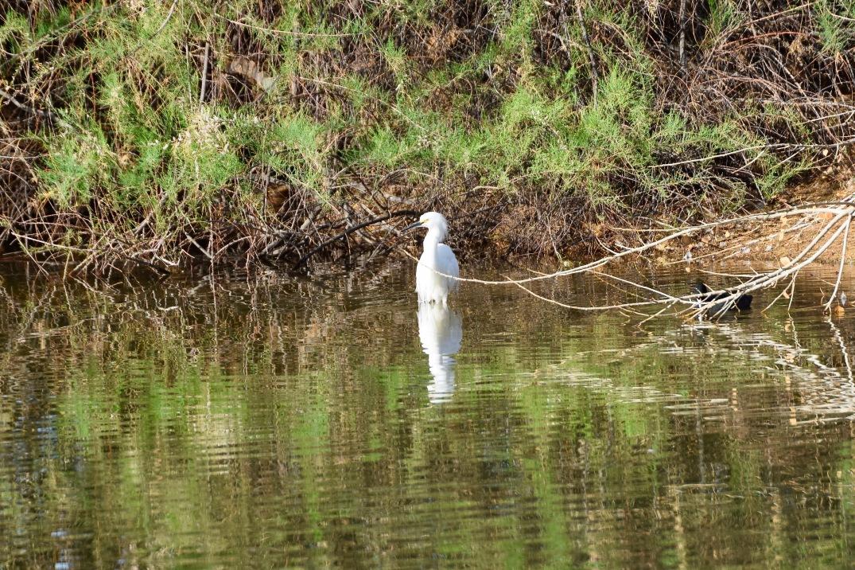 Snowy Egret RP 3